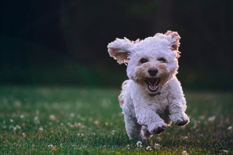 A canine running on the grass